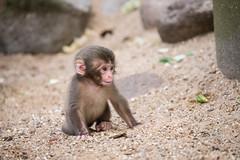 2016-06-17-16h53m57.BL7R0265 (A.J. Haverkamp) Tags: canonef100400mmf4556lisiiusmlens amsterdam zoo dierentuin httpwwwartisnl artis thenetherlands japansemakaak japanesemacaque dob09062016 pobamsterdamthenetherlands
