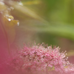 Voile rose (Mariette80) Tags: bokeh carr gouttes gouttelettes spireanthonywaterer