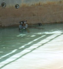 Tiger (Theophilus Photography) Tags: louisvillezoo zoo wildanimals cage vacation trip tiger water pool swim cool