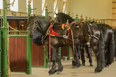 horses in the kings stable (maryannenelson) Tags: horses black netherlands dress palace stable equestrian reins paleishetloo