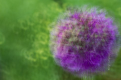 IMG_4630.jpg (gking2224) Tags: longexposure pink flowers blue plant abstract blur flower nature garden purple allium