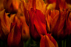 flames (mariola aga) Tags: flowers red plants green art closeup petals tulips flames shape  thegalaxy