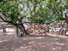 Banyan Tree Park (altfelix11) Tags: hawaii maui lahaina banyantreepark frontstreet banyantree