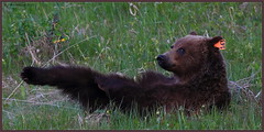 And point the toes down (CrzyCnuk) Tags: canada canon wildlife alberta grizzly grizzlybear canon6d