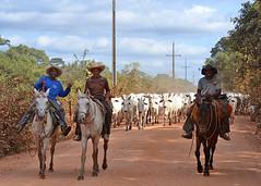 POCONE, BRAZIL - cowboys in the Pantanal/ ,  -    (Miami Love 1) Tags: brazil latinamerica southamerica brasil cowboy brazilian brasileiro matogrosso vaquero latinamerican brasileno pocone southamerican transpantaneira pantaneiro