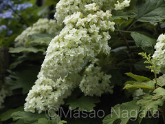 Walking (axlemasa) Tags: life park flowers blue summer people white plant flower color detail macro green nature floral beautiful beauty up closeup garden landscape outdoors tokyo leaf petals spring flora peace close ueno outdoor lace decoration peaceful sunny nobody calm fresh cap card gift bloom hydrangea bouquet elegant delicate ornamental blooming hortensia lacecap macrophylla h5d