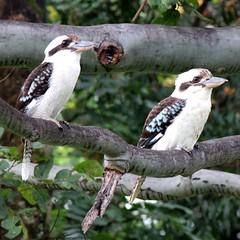 Australian Kookaburra (Gillian Everett) Tags: two bird native australian australia queensland kookaburra 116 91 2016