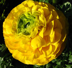yellow ranunculus (lisafree54) Tags: plant flower nature yellow free ranunculus cco freephotos