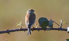 Linnet at Brandon Marsh (robmcrorie) Tags: bird nature wildlife brandon reserve marsh coventry warwickshire linnet sssi