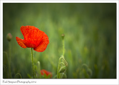 Poppy (Paul Simpson Photography) Tags: flowers red summer plants plant flower green nature outdoor farmland lincolnshire poppy poppies fields summertime naturalworld redflower summerflower naturephotos photosof imageof photoof imagesof sonya77 paulsimpsonphotography june2016