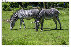 The merger (tom22_allgaeu) Tags: augsburg deutschland europa tiere zebra zoo equusgrevyi nikon d3200 tamron animals