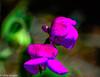 Blossom - Sweet Pea (Chris Scopes) Tags: wednesday flora nikon purple bokeh sweetpea d610 bokehbackground chrisscoes