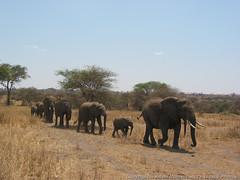 Elephants on parade (3scapePhotos) Tags: africa tanzania animal animals continent elephant elephants parade safari tarangire