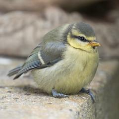 P6300601 (robert.cape@ymail.com) Tags: juvenile bluetit fledgling cyanistescaeruleus paridae