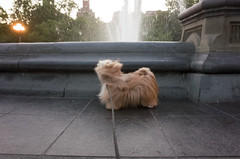 washington square park fountain (Charley Lhasa) Tags: nyc newyorkcity dog ny newyork silly wet puddle pattern manhattan washingtonsquarepark noflash cropped charley wiggle iso1600 greenwichvillage citypark lightroom lhasaapso wsp nycparks urbanpark aperturepriority dng grii washingtonsquarefountain 2stars adobelightroom 0ev charleylhasa 183mm ricohgrii secatf28 unflagged 28mm35mmequivalent r007663 taken160618203530 uploaded160623230617 adobelightroomcc20156 lightroomcc20156 tumblr160623 httpstmblrcozpjiby28lshb