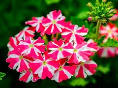 Cherryburst Royale Verbena (jhambright52) Tags: macro macroflowers doublefantasy verbenahybrid cherryburstroyaleverbena