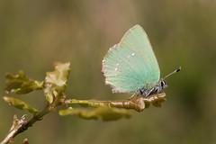 Groentje / Callophrys rubi / Green hairstreak (xarneymx) Tags: animal planet animalplanet