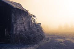 Obfuscation (Prestidigitizer) Tags: old morning mist abandoned overgrown fog barn sunrise vines antique decay farm rustic shed foggy decrepit blackberries pentaxda50135mm pentaxk3