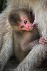 Mother's milk (ellievking1) Tags: nature animals japan monkeys hotspring nagano jigokudani macaques monkeypark yudanaka