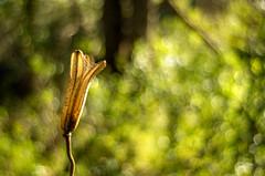 Expelled (OzzRod) Tags: leaves pentax bokeh swirl uncropped seedpod intothesun glenrock wideopen k50 autotakumar35mmf23 pentaxsingleinjune2016