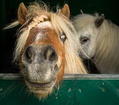 Happy New Week Ahead! ;-) (neerod81) Tags: fun nose mini pony curious peeking