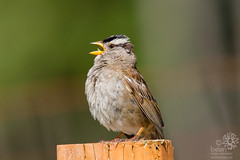 White-crowned Sparrow (wanderinggrrl) Tags: wild portrait brown white male bird nature animal female garden spring branch sitting singing post background wildlife sparrow perched songbird picofweek crowned whitecrowned shutterstock year4week56 alamayupload