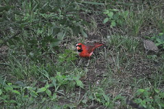 DSC_0053 (Gary Storts) Tags: cardinal gynandromorph gynadromorph orninthology birdwatching birds cardinalis northerncardinal cardinaliscardinalis