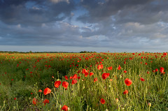 Field of Red Poppies (John__Hull) Tags: uk flowers summer england cloud sun english field landscape countryside nikon view market leicestershire breath poppies taking setting treeline bosworth d3200