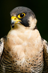 Peregrine Portrait (zarlock81) Tags: birds scotland wildlife falcon balloch lochlomond peregrine schottland peregrinefalcon falcoperegrinus wanderfalke vereinigtesknigreich