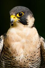 Peregrine Portrait (zarlock81) Tags: birds scotland wildlife falcon balloch lochlomond peregrine schottland peregrinefalcon falcoperegrinus wanderfalke vereinigtesknigreich