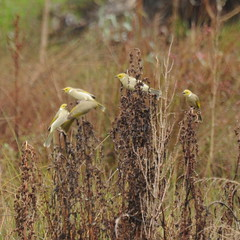 Ptilotula penicillata (Diana Padrn) Tags: bird birds ave aves australia victoria cussen park nature wildlife naturaleza humedal humedales whiteplumed honeyeater mielero empenachado ptilotula penicillata