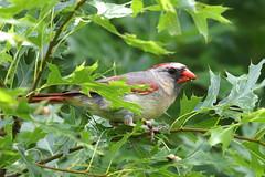 Female Cardinal...6O3A3509A (dklaughman) Tags: cardinal bird illinois