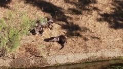 Race to the Water (Sam Schmidt) Tags: california campus arboretum davis otters ucdavis