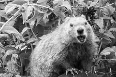 Screamer (Joshua Eller) Tags: nature animal mammal woodchuck groundhog