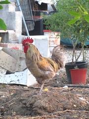 Finca del Nino summer 2016 (LindseyS2008) Tags: spain cockerel fincadelnino benajarafealto