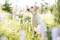 Light on Tillie (Brian.Buckler) Tags: flowers dog cute yellow canon 50mm lab labrador bokeh co 5d frisco 50l dogphotographer brianbuckler