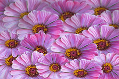 Mauve daisies (Corremontes13) Tags: life red summer plant flower color macro green nature ecology beautiful field leaves closeup rural petals spring purple background farming meadow seed growth lilac daisy mauve chamomile