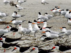 Mix and Match (ChicaD58 (busy)) Tags: ocean vacation beach georgia outdoors spring waves royaltern tybeeisland sandwichtern blackskimmer atlanticflyway overcastmorning 269a colonialcoastalbirdingtrail