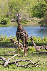 Q02A4891.jpg (Denzil Burriss) Tags: nature animal canon zoo wildlife may kansascity missouri giraffe dslr kansascityzoo 2013