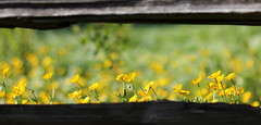 Buttercups (friesen4) Tags: flowers fence buttercup wildflowers buttercups