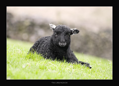 Herdwick Lamb @ Little Langdale (May 2013 #1) (Lazlo Woodbine) Tags: england nature animal countryside spring sheep pentax bokeh britain farming lakedistrict may sigma cumbria lamb agriculture 70300mm farmanimal thelakes langdale britishcountryside thelakedistrict herdwick 2013 herdwicksheep