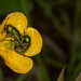 Cryptocephalus sericeus, Hammelrain, Lens Nikon 105mm f-2.8G IF-ED AF-S VR Micro Nikkor, Nissin MF18 Ring Flash, Ranunculaceae, ranunculus auricomus.jpg