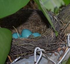 Robin Nest (RevDrPepper) Tags: nest eggs robinnest