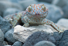 Thrilling... (^_^)/~~It's not easy, being bluish grey with orange polka dots ♫. . . ~ gekko gecko ~ tokay gecko from Bali (bocavermelha-l.b.) Tags: lagartixa tuko tokaygecko gekkogecko 105mmf28dmicro tokek ヤモリ 2xtelepluspro300 mi–im shootingwithd200 геккон ตุ๊กแก awke tắckè tokkae kokkek