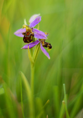 Little bee orchids (Billy Clapham) Tags: summer orchid flower macro nature closeup 50mm evening meadow july reserve lincolnshire bee m42 redhill pentacon f18 18 50 grassland ophrysapifera nikond3200 wolds 5018 pentacon5018 pentacon50mmf18 billyclapham