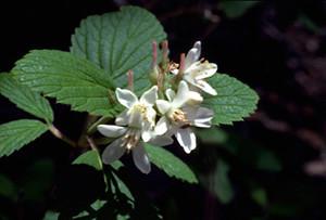 Photo - Cliffrose or Waxflower