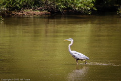 Out For A Walk (jwfuqua-photography) Tags: birds pennsylvania waterfowl buckscounty greatblueheron herons peacevalleypark wadingbirds newbritian tamron18270 lvpcphotoshoot jwfuquaphotography jerrywfuqua