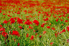 To the Poppies and beyond [Explored]