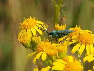 Blauwe Metaalvlinder!!      Explore!!!