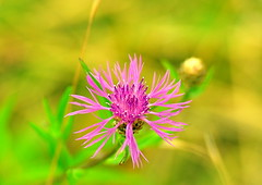 Pink (Terje Hheim (thaheim)) Tags: pink flower horizontal outdoors nikon bokeh petal growth pollen freshness 70200mmf28gvr d90 fragility focusonforeground nopeople closeup singleflower